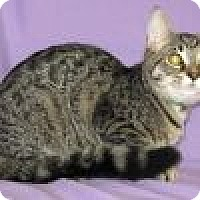 Domestic Shorthair Cat for adoption in Powell, Ohio - Holly