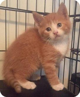 Domestic Shorthair Kitten for adoption in Stanhope, New Jersey - Glen