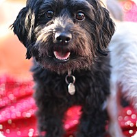 Scottie, Scottish Terrier/Shih Tzu Mix Dog for adoption in Studio City, California - Shy, Sweet Shamus