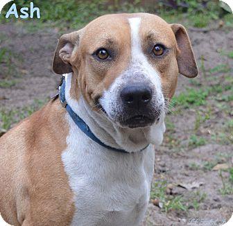American Bulldog/Labrador Retriever Mix Dog for adoption in Lake Pansoffkee, Florida - Ash