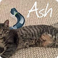 Adopt A Pet :: Ash - URGENT - Troy, MI