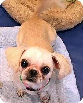 Shih Tzu Dog for adoption in Atlanta, Georgia - Prissy