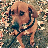 Redbone Coonhound/Labrador Retriever Mix Dog for adoption in Sweetwater, Tennessee - Billy Jack