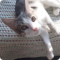 Domestic Shorthair Kitten for adoption in Arlington/Ft Worth, Texas - Quinton