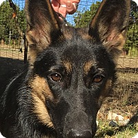 German Shepherd Dog Puppy for adoption in Dripping Springs, Texas - Chula