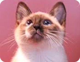 Siamese Kitten for adoption in LaJolla, California - Pear