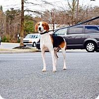 Adopt A Pet :: Scooby - Manassas, VA
