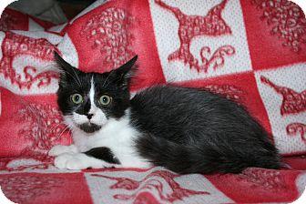 Domestic Shorthair Kitten for adoption in Santa Rosa, California - Reisling