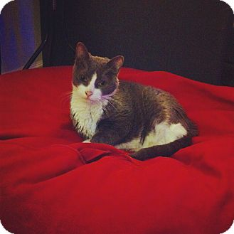 Domestic Shorthair Cat for adoption in Brooklyn, New York - Button