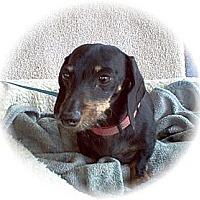 Adopt A Pet :: Schatzy - Tucson, AZ