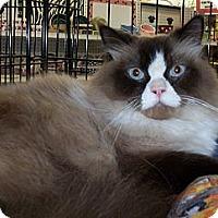 Adopt A Pet :: Perceval - New Port Richey, FL