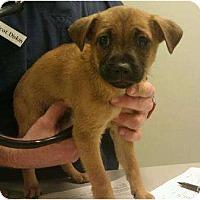 Adopt A Pet :: Julie - Phoenix, AZ