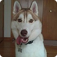 Adopt A Pet :: Nikko - Belleville, MI