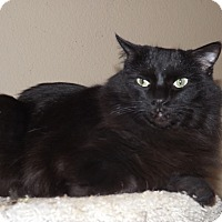 Domestic Mediumhair Cat for adoption in Mesa, Arizona - Cassidy