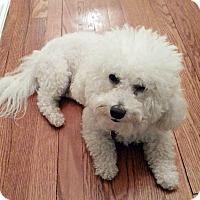 Adopt A Pet :: Bijou - East Hanover, NJ