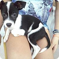 Adopt A Pet :: Lilah - Miami, FL