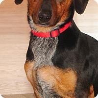 Adopt A Pet :: ZIGGY - Hurricane, UT
