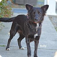 Adopt A Pet :: Holly - Old Saybrook, CT