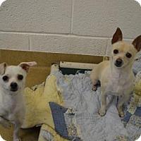 Adopt A Pet :: Coco Puff - Miami, FL