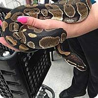 Adopt A Pet :: Snakey - Patterson, NY
