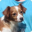 Adopt A Pet :: Dixie (Needs foster/Has application)