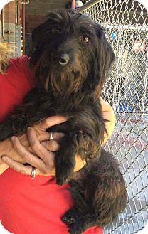 Havanese/Havanese Mix Puppy for adoption in beverly hills, California - Bentley