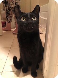 Domestic Shorthair Cat for adoption in Chicago, Illinois - Rita