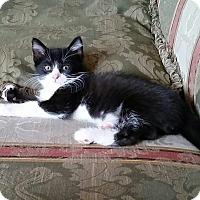 Domestic Shorthair Kitten for adoption in Newport, Kentucky - Morgan