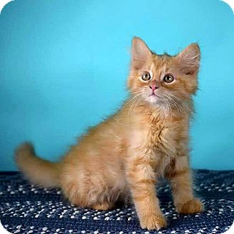 Domestic Longhair Kitten for adoption in Columbia, Illinois - Percy
