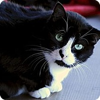 Domestic Shorthair Cat for adoption in Brimfield, Massachusetts - Smudge - House Spirit
