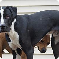 Great Dane/Labrador Retriever Mix Dog for adoption in Baden, Pennsylvania - Walter