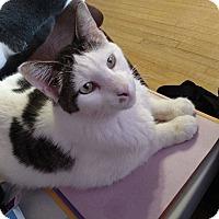 Domestic Shorthair Cat for adoption in Rochester, Minnesota - Noisy Boy