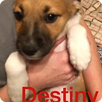 Adopt A Pet :: Destiny - Normal, IL