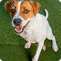 Terrier (Unknown Type, Medium) Mix Puppy for adoption in Miami, Florida - Boogie