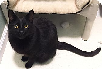 Domestic Shorthair Cat for adoption in Colorado Springs, Colorado - Zagreb