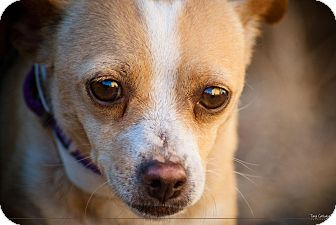 Chihuahua Dog for adoption in El Cajon, California - KELLY, watch my video!