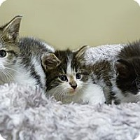 Adopt A Pet :: Janet, Jack & Chrissy - Chicago, IL