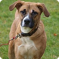 Adopt A Pet :: Flash - Boxer mix - Toronto/Etobicoke/GTA, ON