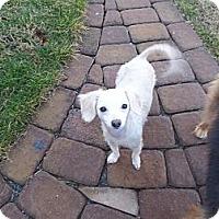 Adopt A Pet :: Denali - Homewood, AL