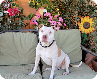 American Staffordshire Terrier Mix Dog for adoption in Toluca Lake, California - Luna