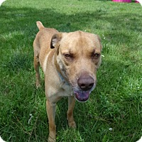 Black Mouth Cur Mix Dog for adoption in Jupiter, Florida - Chibs