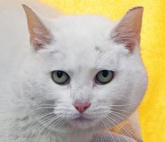 Domestic Shorthair Cat for adoption in Renfrew, Pennsylvania - Gibby