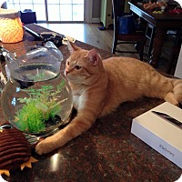 Domestic Shorthair Cat for adoption in Clarkson, Kentucky - Butch Cassidy