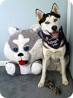 Siberian Husky Mix Dog for adoption in Boyertown, Pennsylvania - Jetta