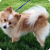 Adopt A Pet :: I'M ADOPTED Cinnabon Vincent - Oswego, IL