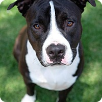 Adopt A Pet :: Chase - Santa Monica, CA