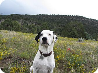 Labrador Retriever Mix Dog for adoption in Ridgway, Colorado - Buddy
