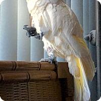Adopt A Pet :: Sundae - Tampa, FL