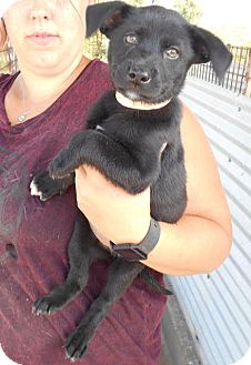 Border Collie/Labrador Retriever Mix Puppy for adoption in Saddle Brook, New Jersey - Neveda