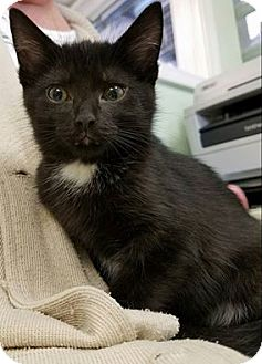 Domestic Shorthair Kitten for adoption in Parma, Ohio - Belle